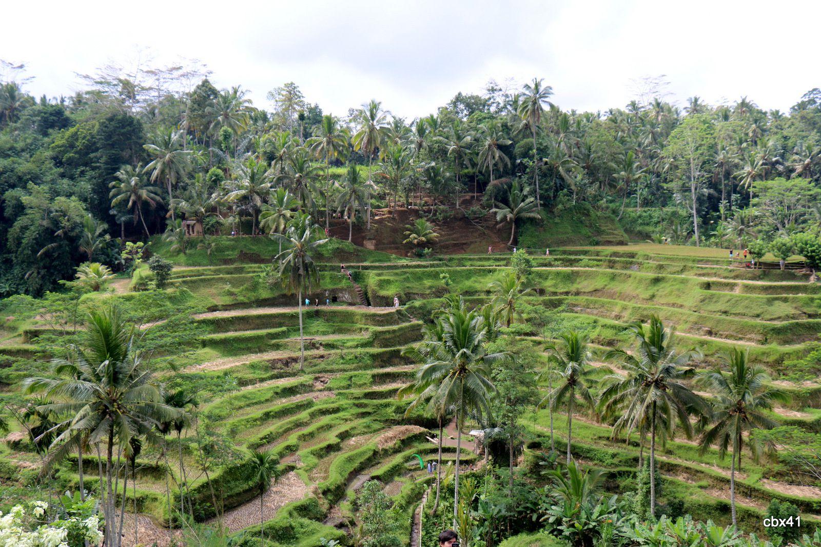 Les rizières de Tegalalang près d'Ubud, Bali Indonésie