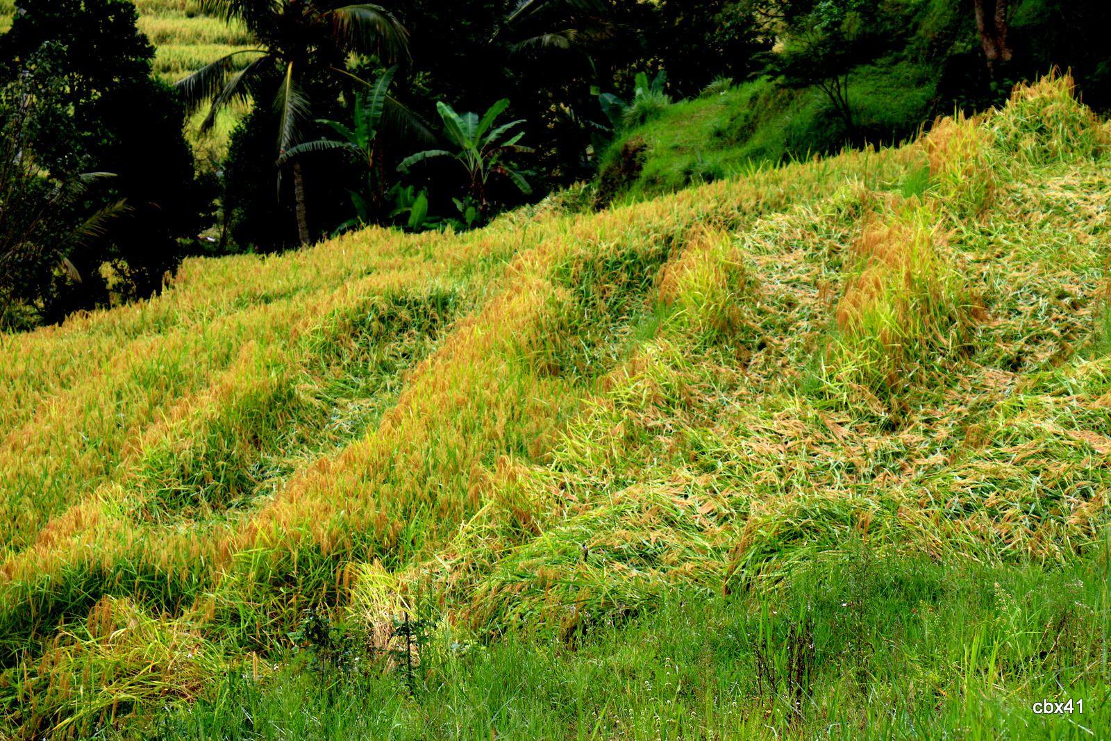 Rizières de Jatiluwih (Bali, Indonésie)