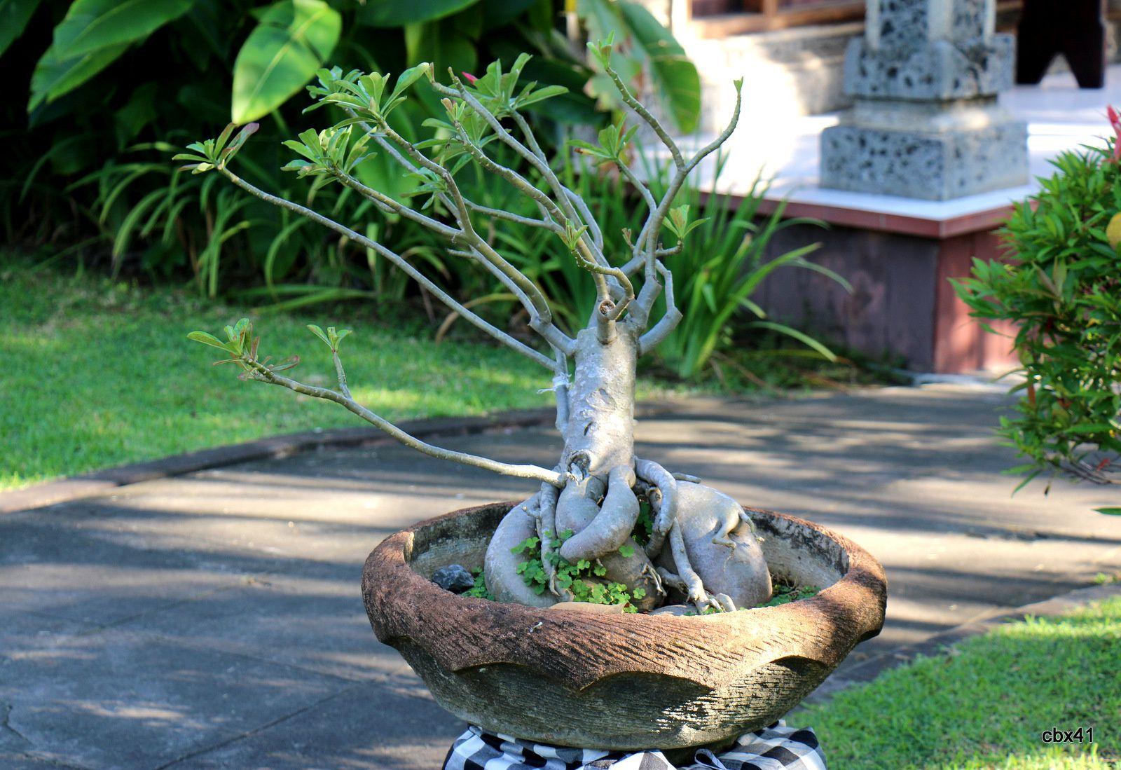 Hôtel Aditya Lovina Bali, les bonsaïs
