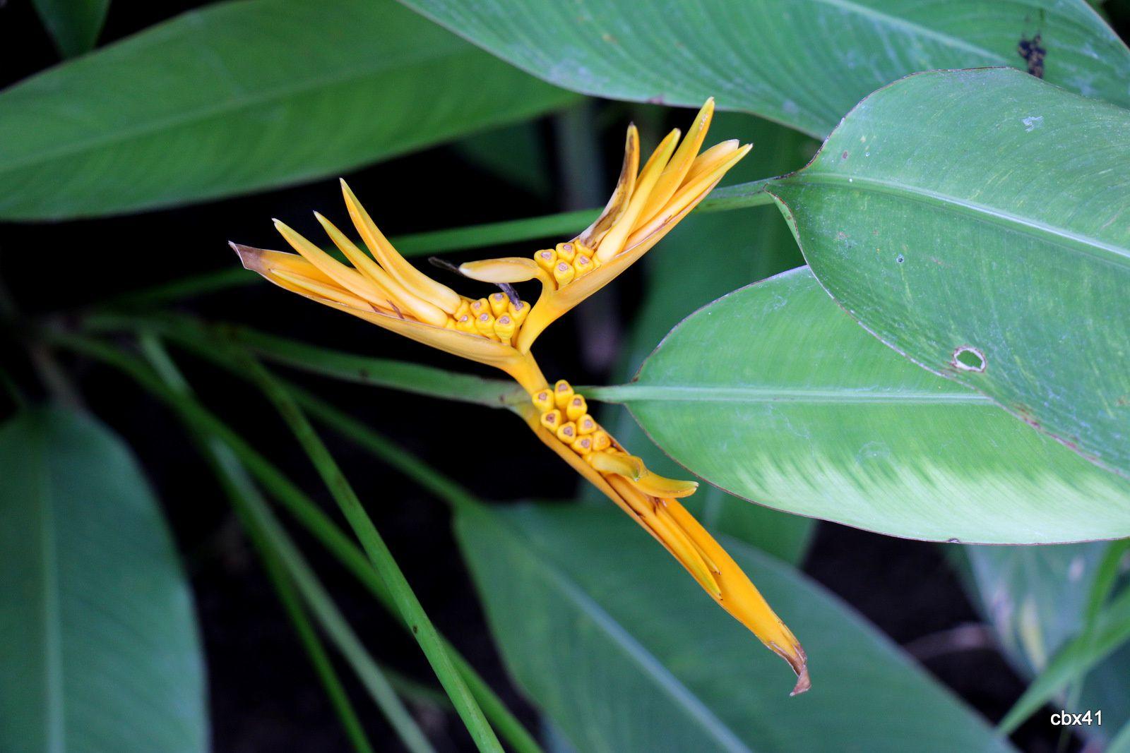Hôtel Aditya Lovina Bali, plantes  épiphytes, cocotier et oiseau de paradis