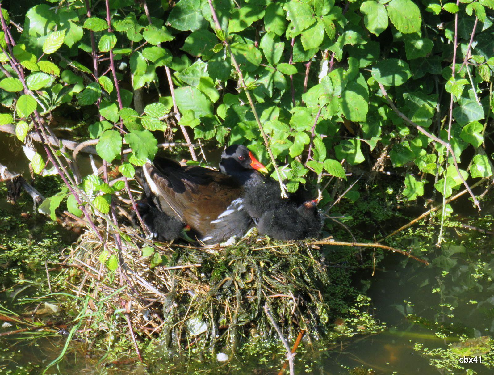Gallinules (poules d'eau) et poussins