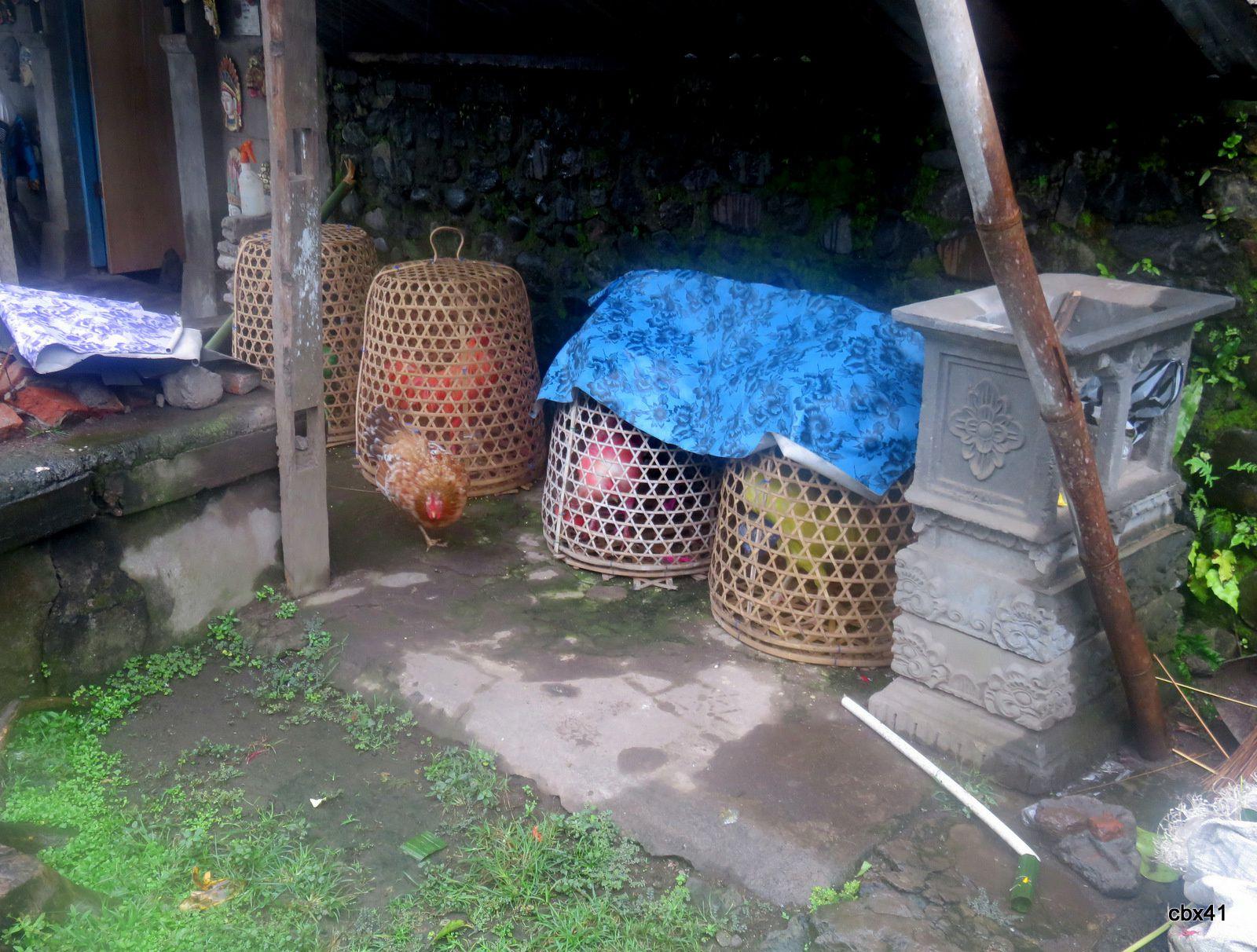 Tenganan Pegringsingan (Bali), coqs de combat