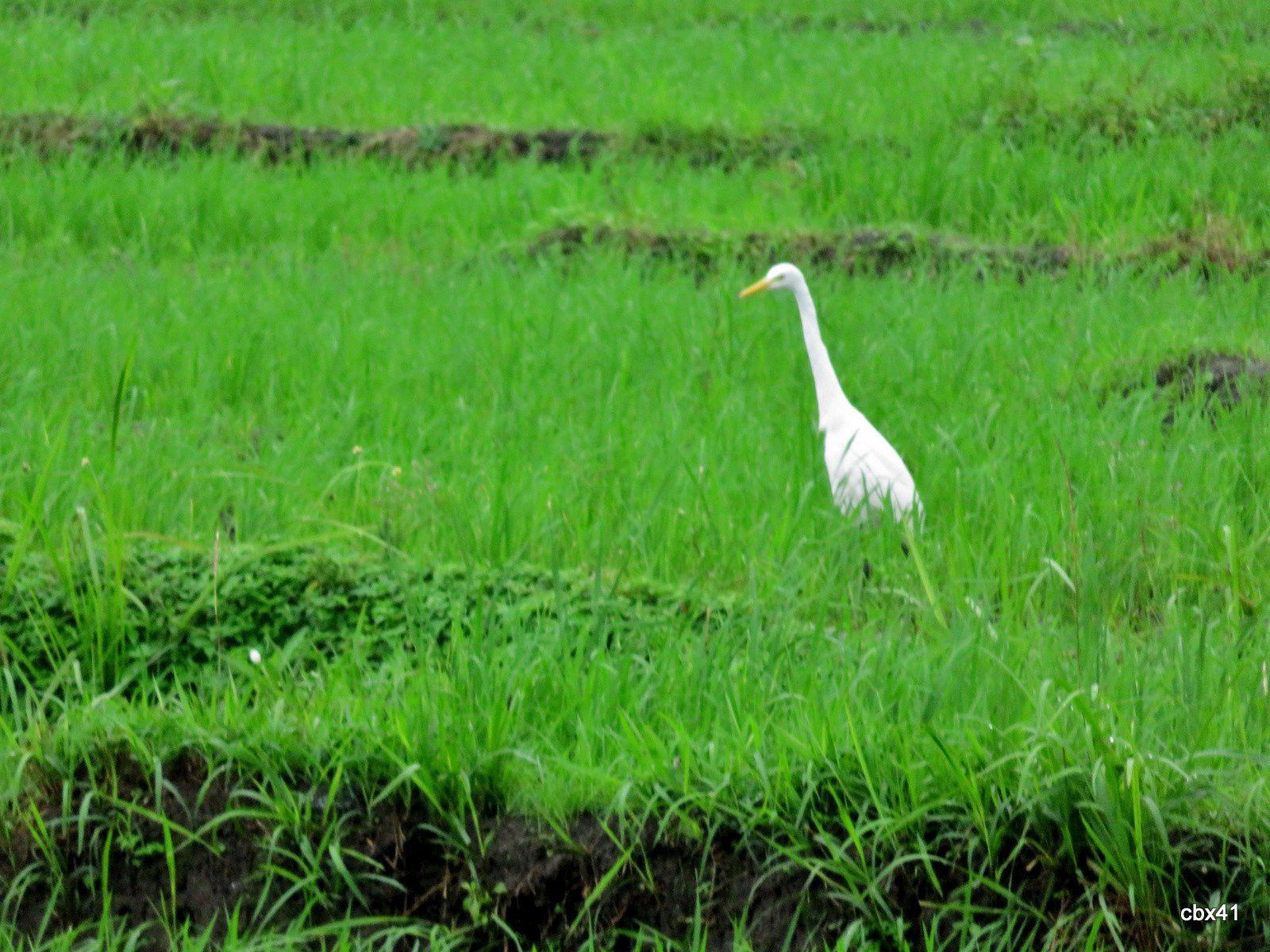 Oiseaux des rizières de Bali