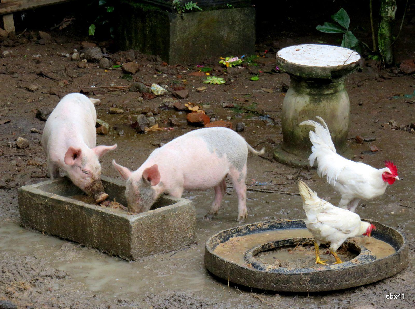 Porcs et poulets à Bali
