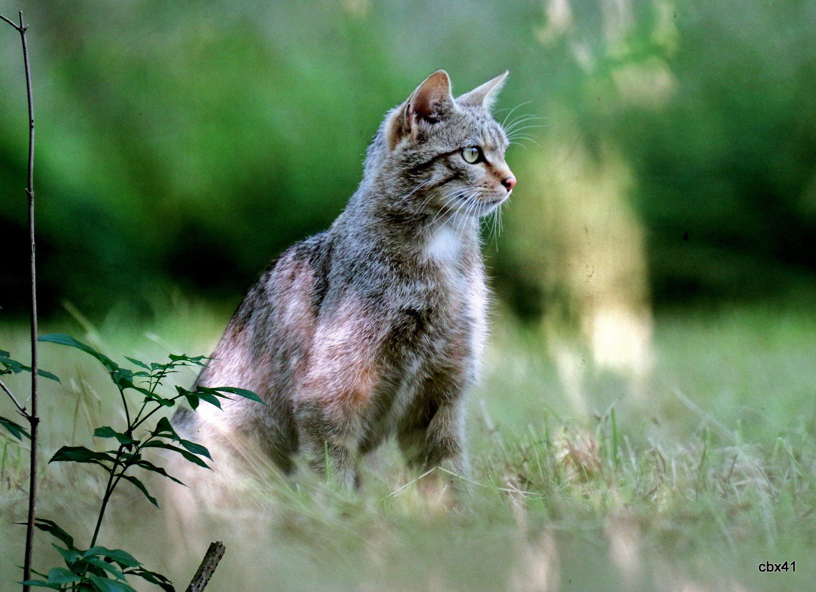 Christophe Dormoy, Chats forestiers
