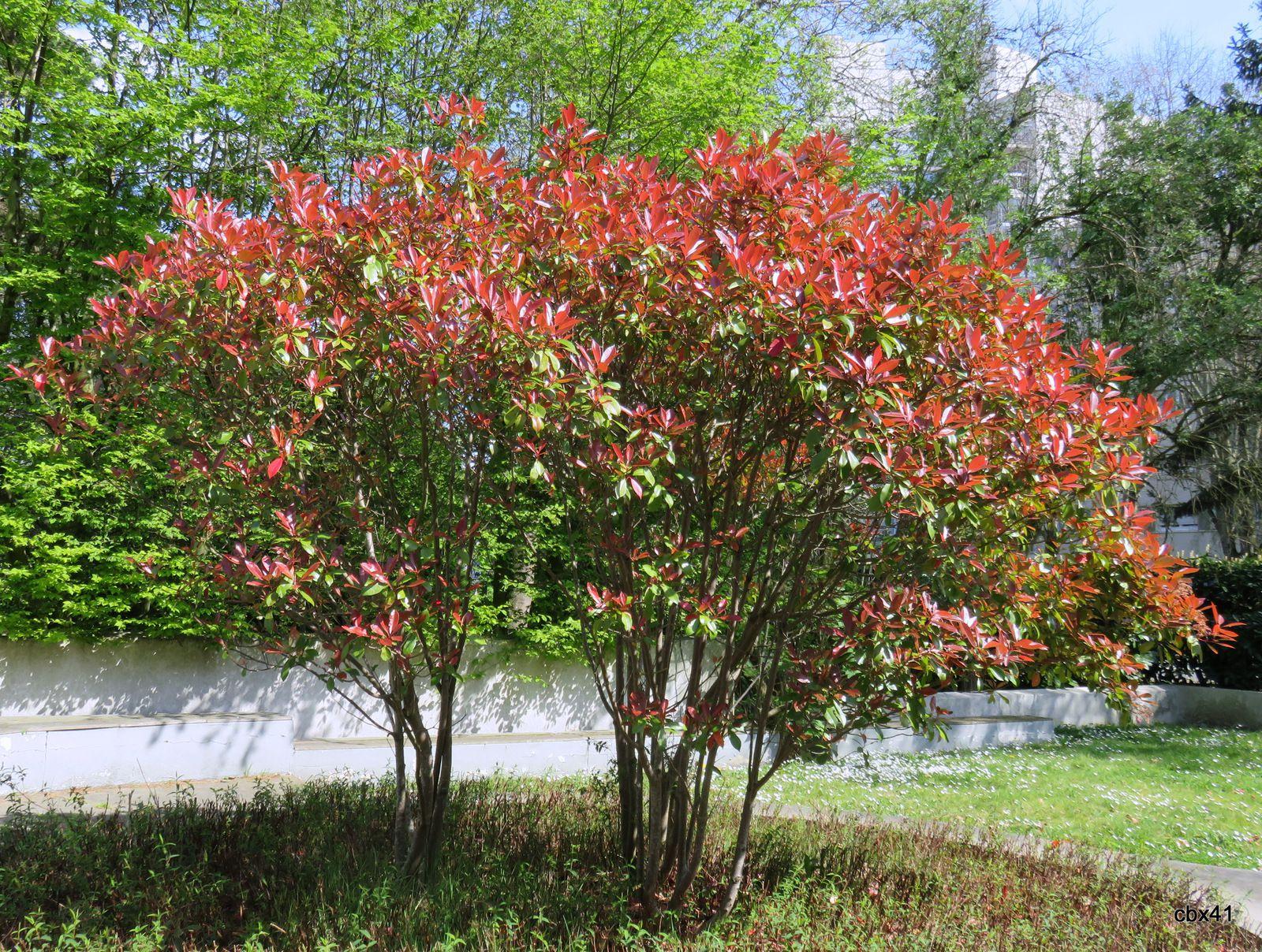 Prunus bicolore et photinia de ma résidence