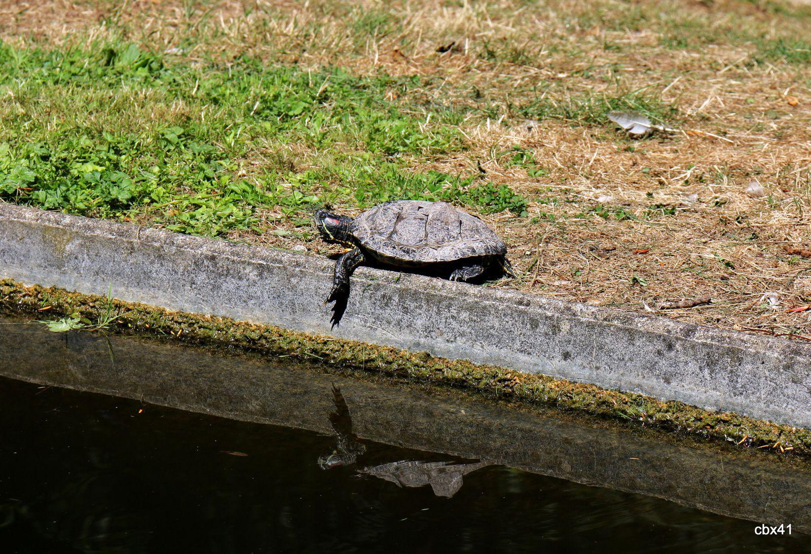 Tortue de Floride, parc du château de Monte-Cristo