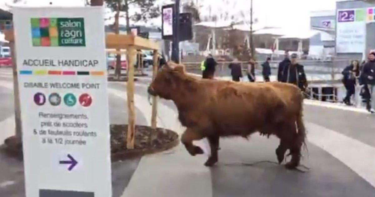 Un taureau en liberté au salon de l'agriculture. Les aléas de l'installation...
