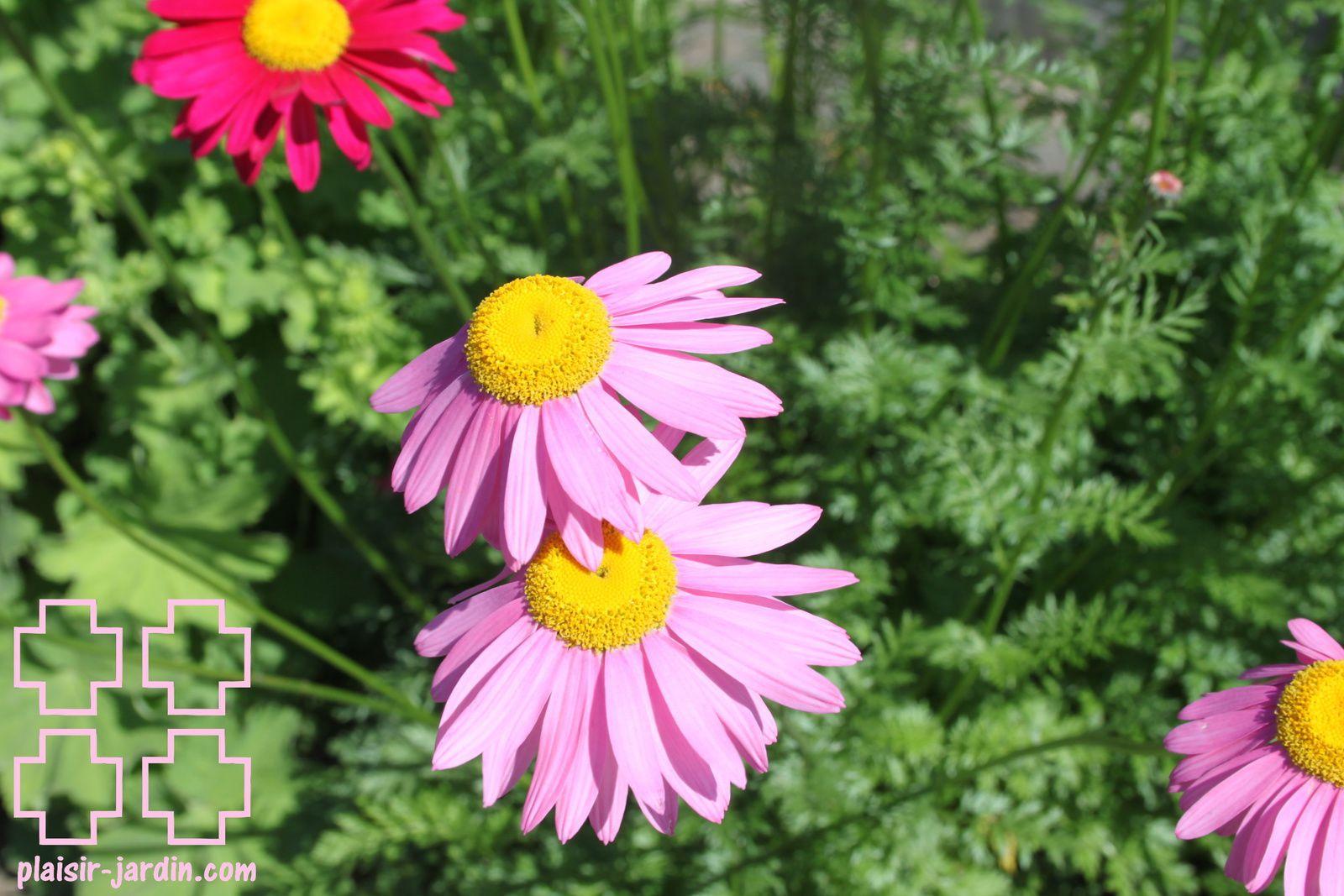 Tanacetum coccineum 'robinson's pink'