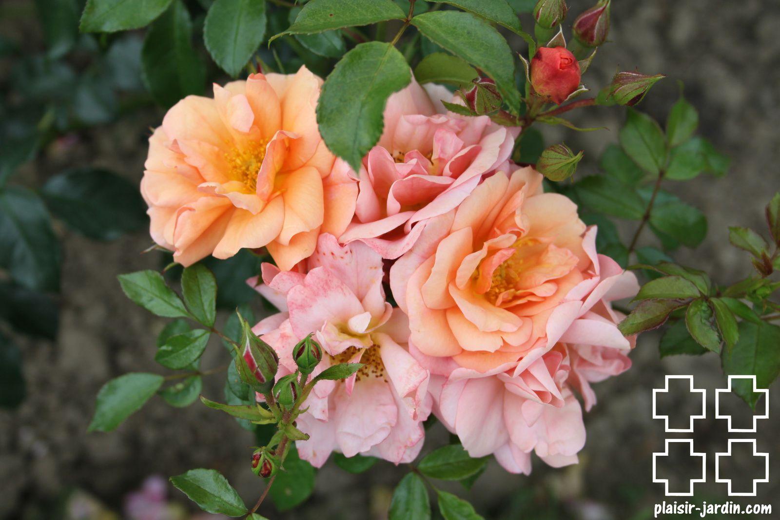 Les rosiers en A. de Ao. à Az.