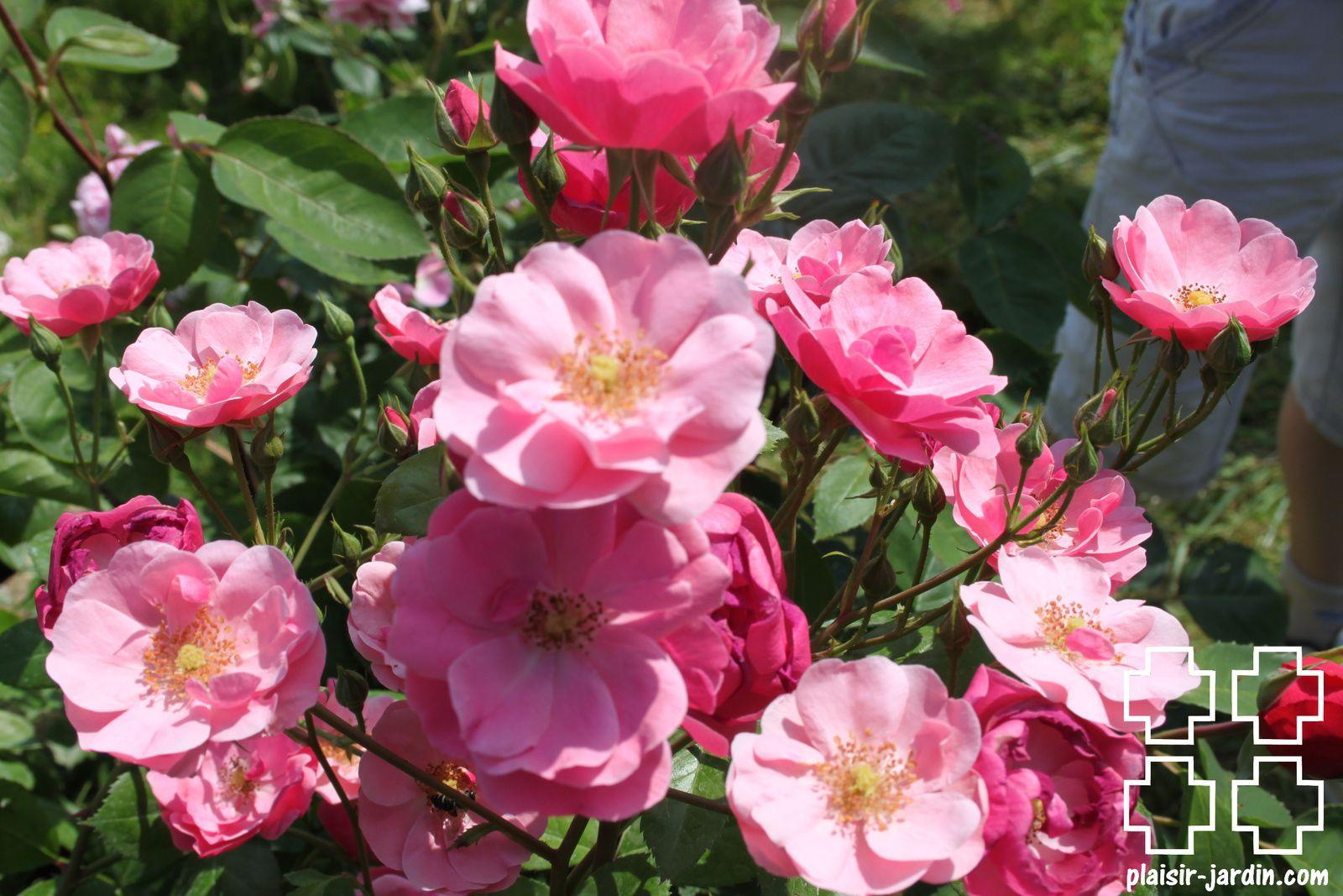 Les rosiers en A. de Am. à An.