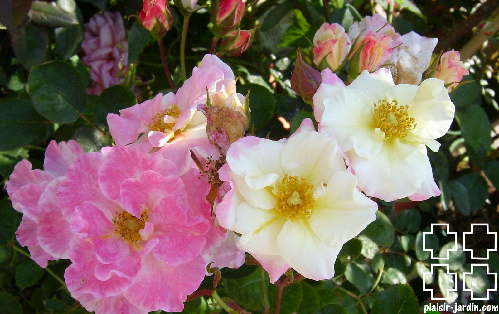 Les rosiers en Ci. à Cl.