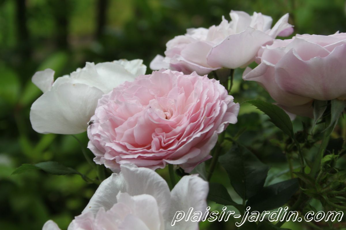 b9. Les rosiers en J. de Ja à Je.
