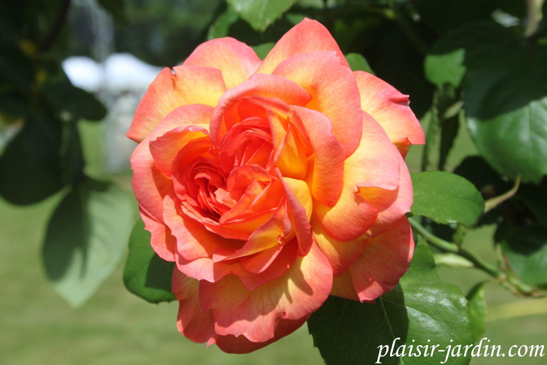 b9. Les rosiers en P. de Pc à Ph.