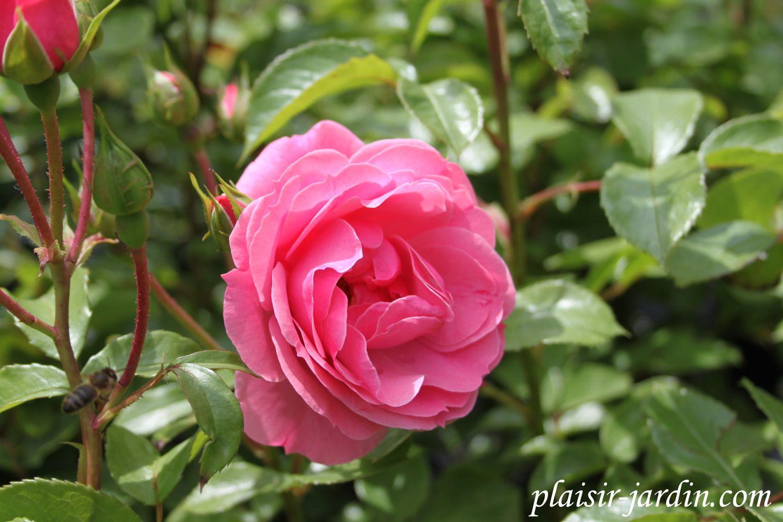 b9. Les rosiers en Rot. à Rz.