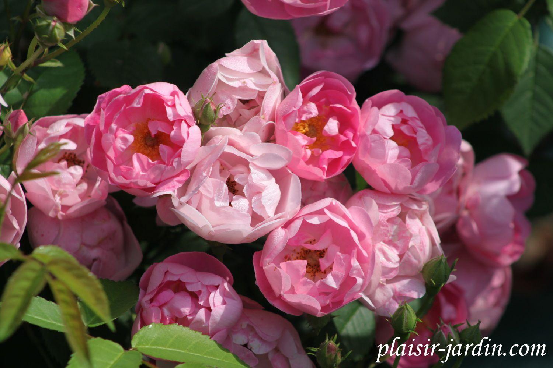b9. Les rosiers en Q. et Ra