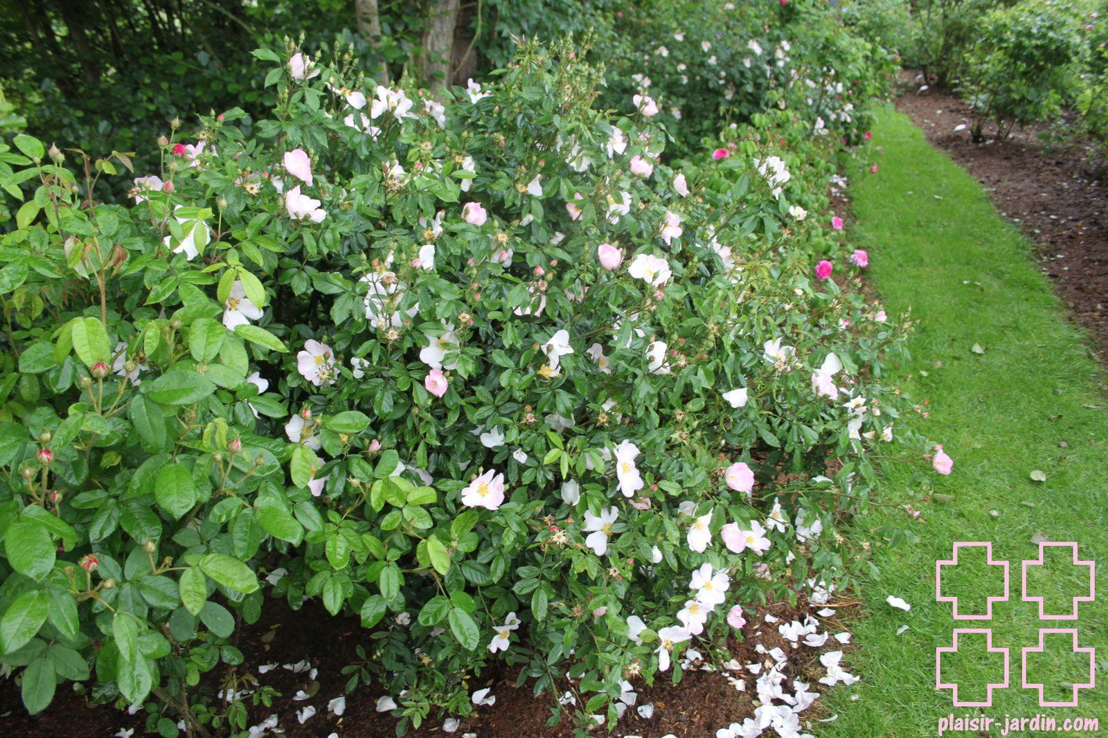Les rosiers en Re.