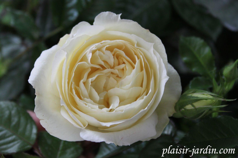 Les rosiers en T. de Ta. à Th.