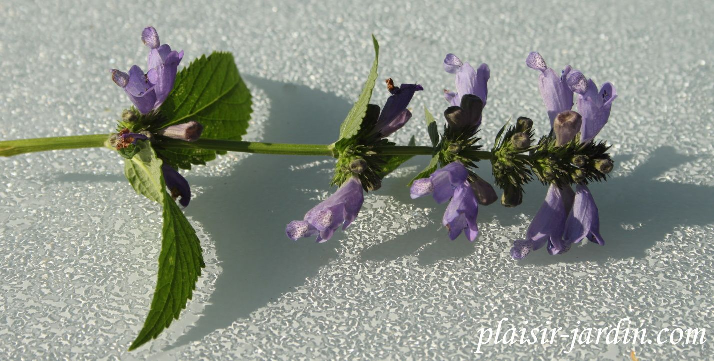 Le Nepeta subsessilis 'Cool Cat'
