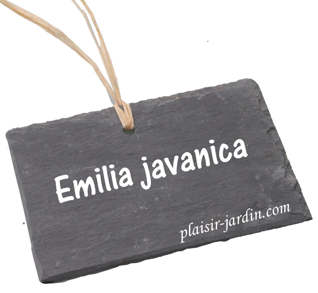 L' Emilia javanica