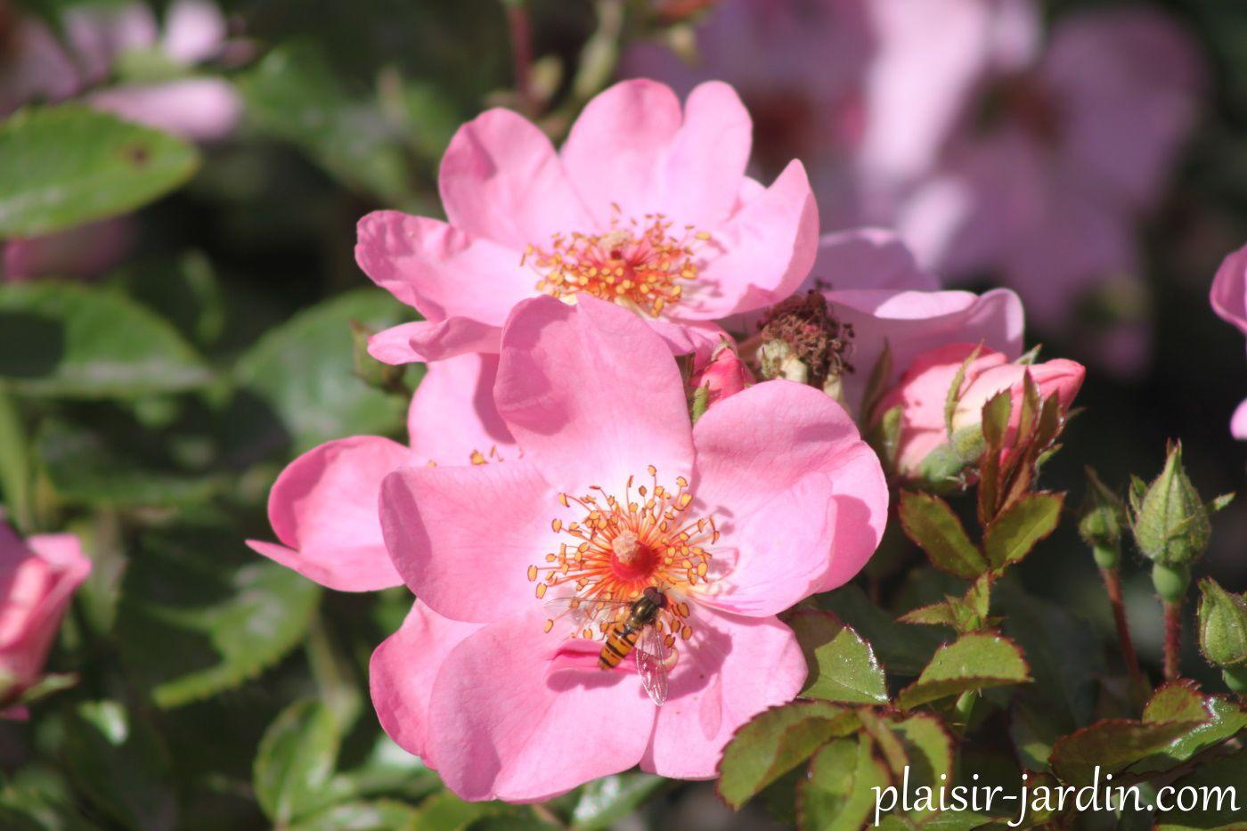 Le rosier 'Sweet Haze'