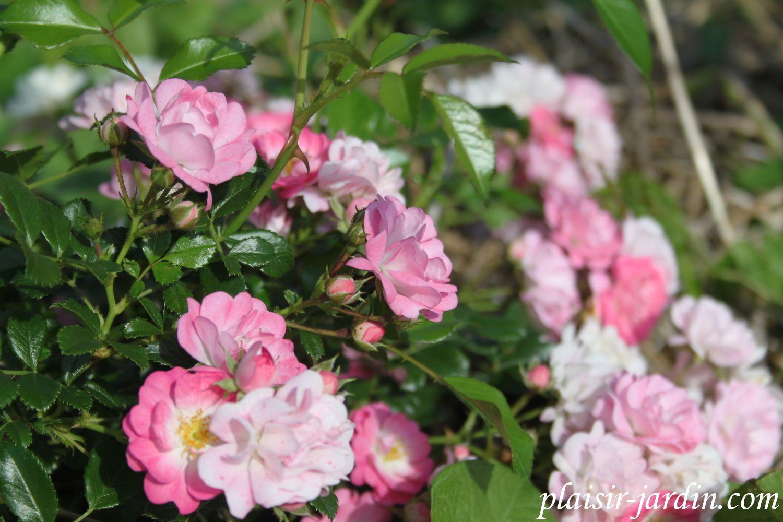 Le rosier 'jubilé Warstein-St Pol'