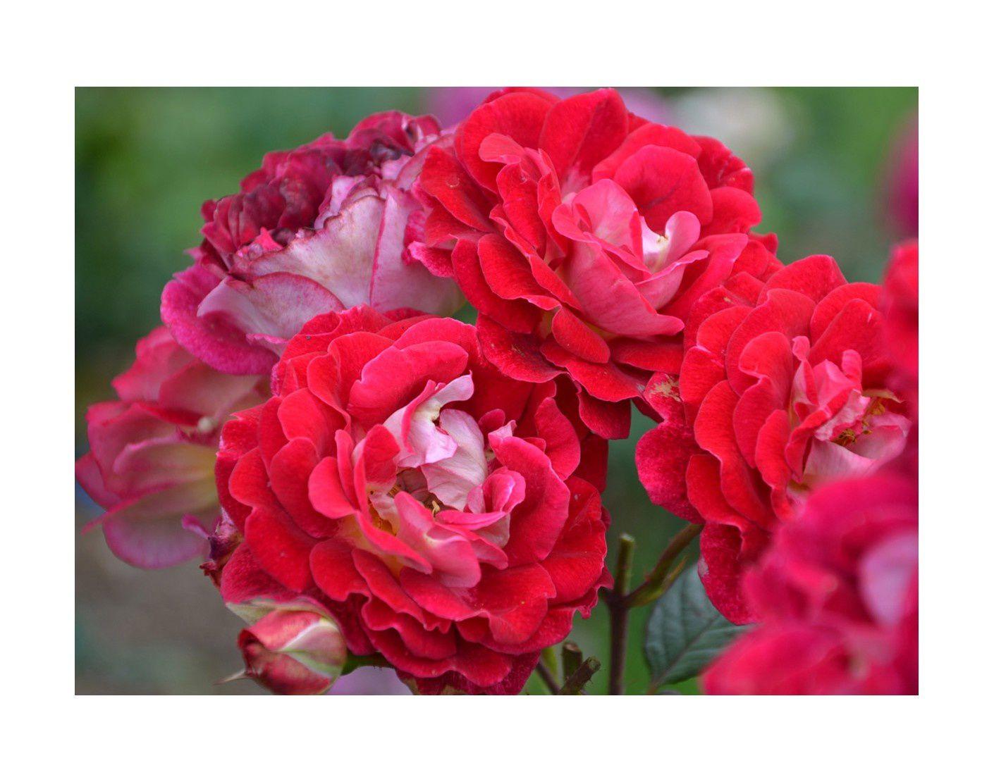 Photo du site www.roses-guillot.com