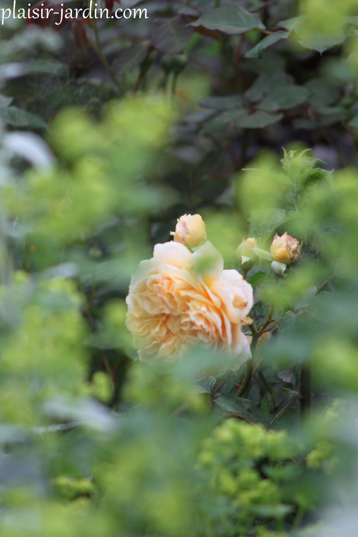 Le rosier 'Crown Princess Margareta'