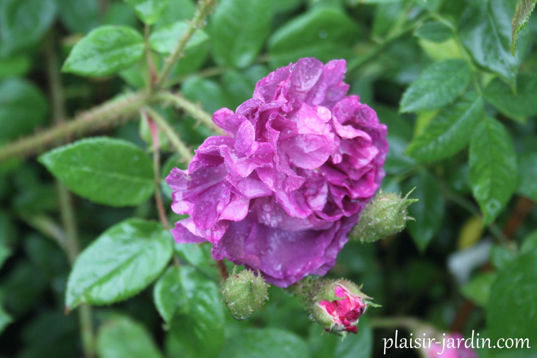 Le rosier mousseux 'William Lobb'