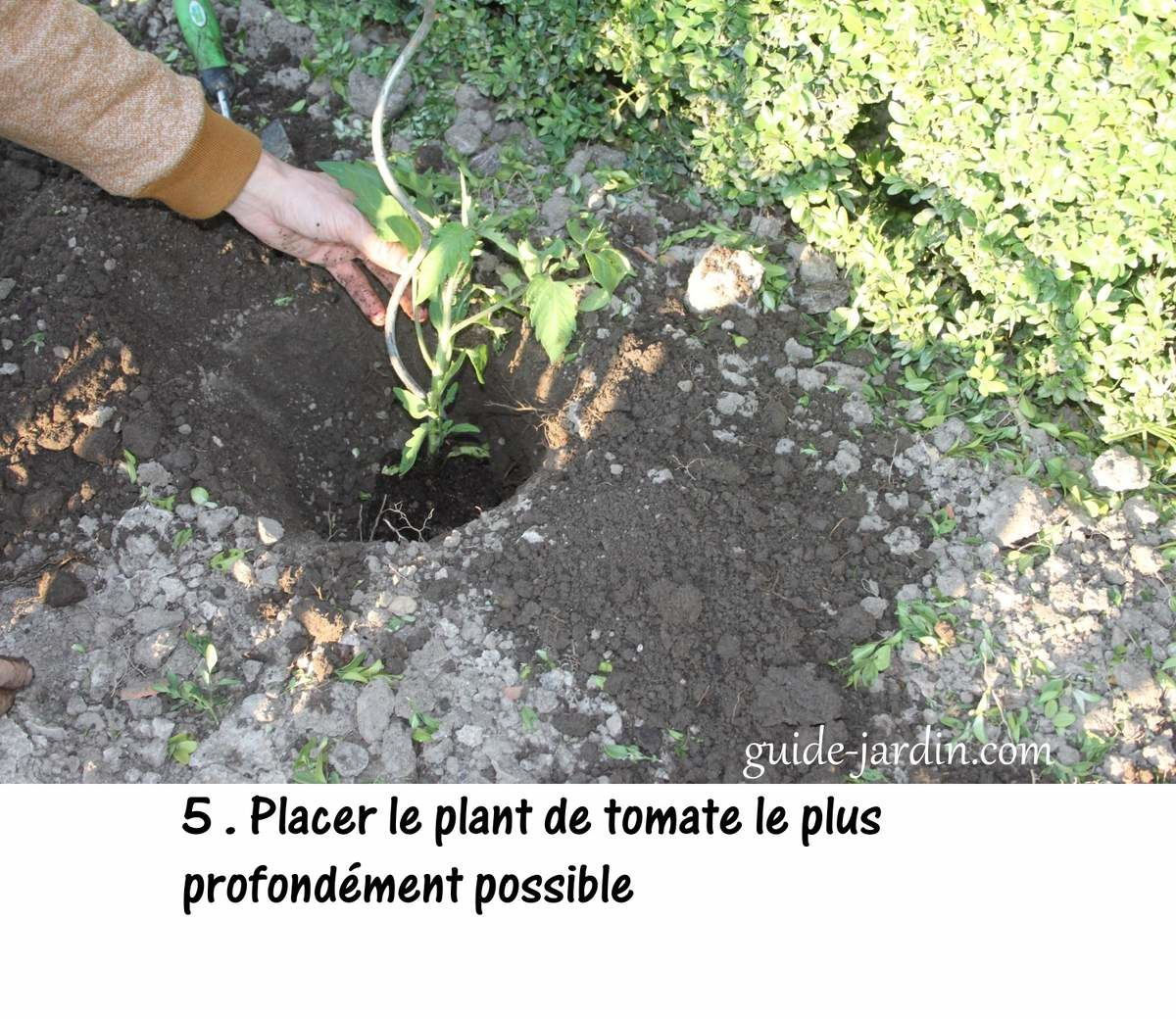 Comment planter les pieds de tomates ?