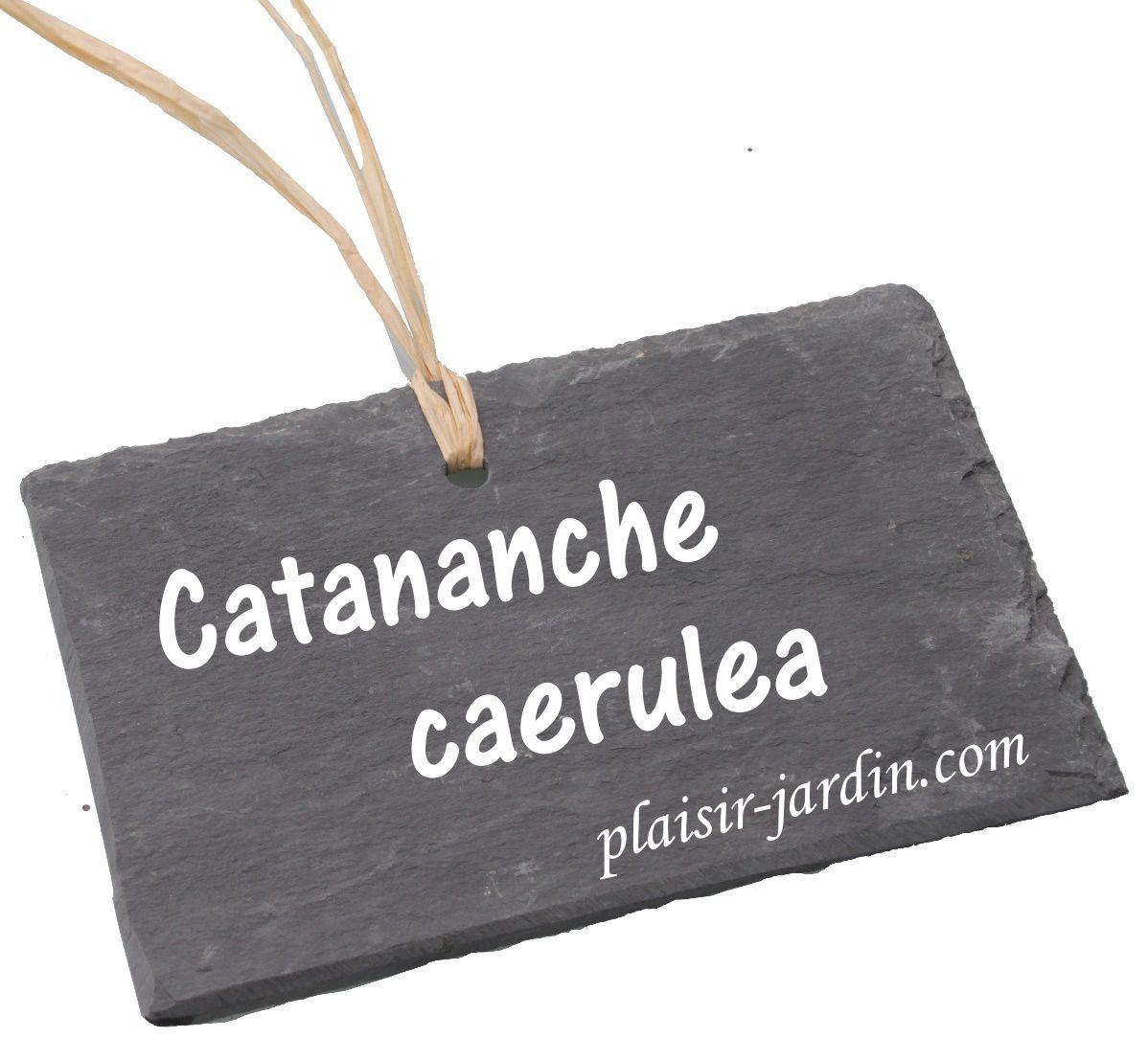 La Catananche caerulea (cupidone)