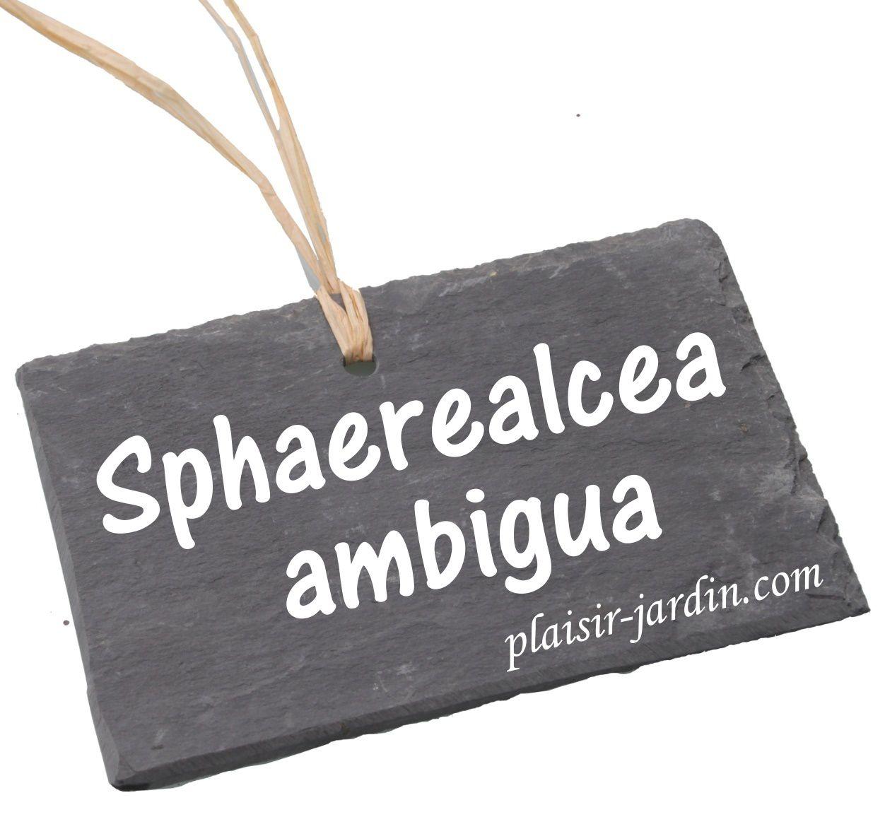 Le Sphaerealcea ambigua
