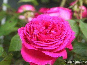 Les rosiers en A. de Ab. à Al.