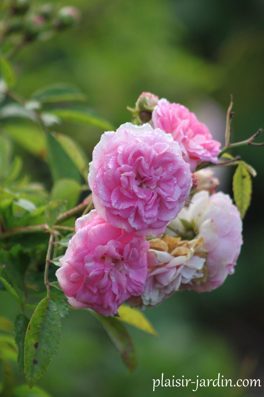 Rosier 'Pink Ghislaine de Feligonde'