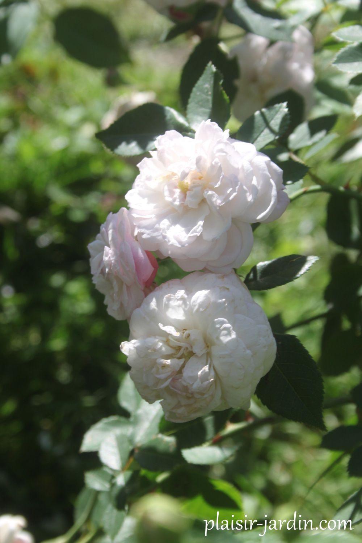 Le rosier 'Duchesse de Grammont'