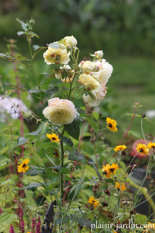 Avec des Coreopsis annuels 'Golden roulette'