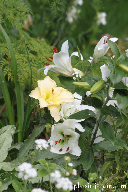 Hemerocallis 'Jardins de Castillon' dans le massif blanc