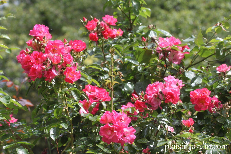 Les rosiers en Ch.