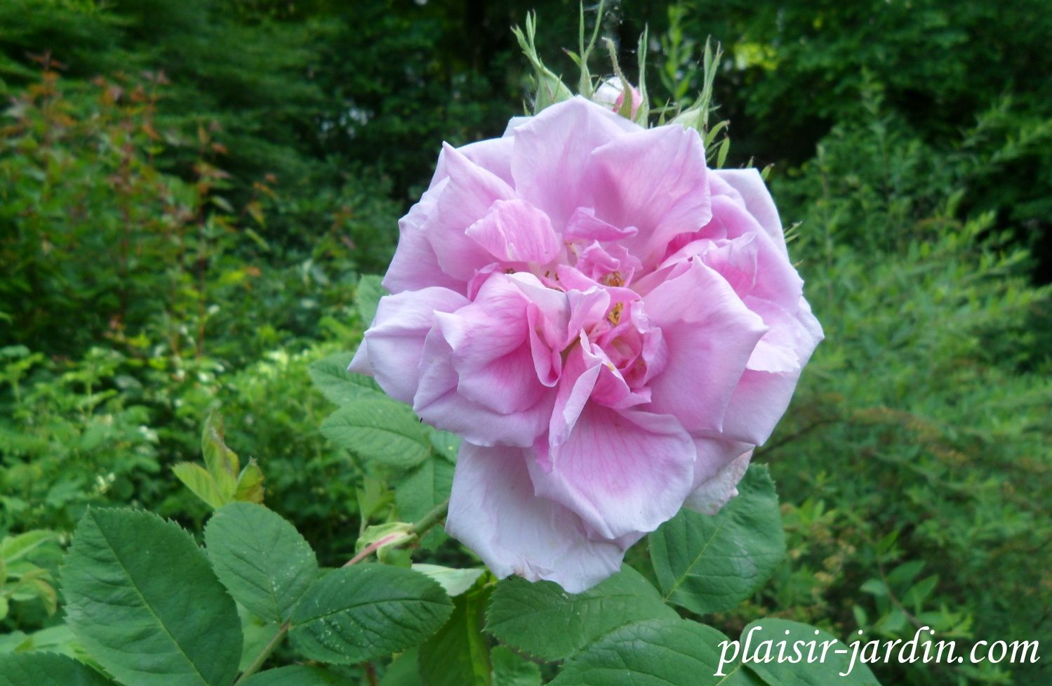 Rosa damascena 'semperflorens' (4 saisons)