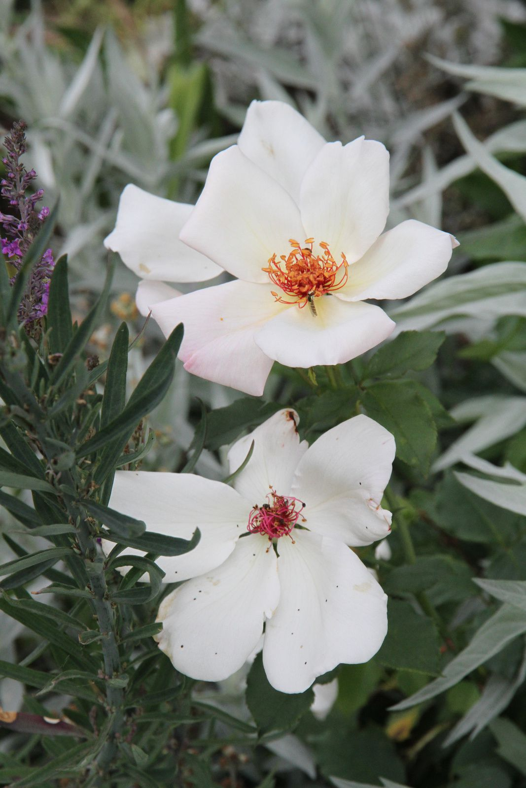 Le rosier 'White Wings' - plaisir-jardin.com