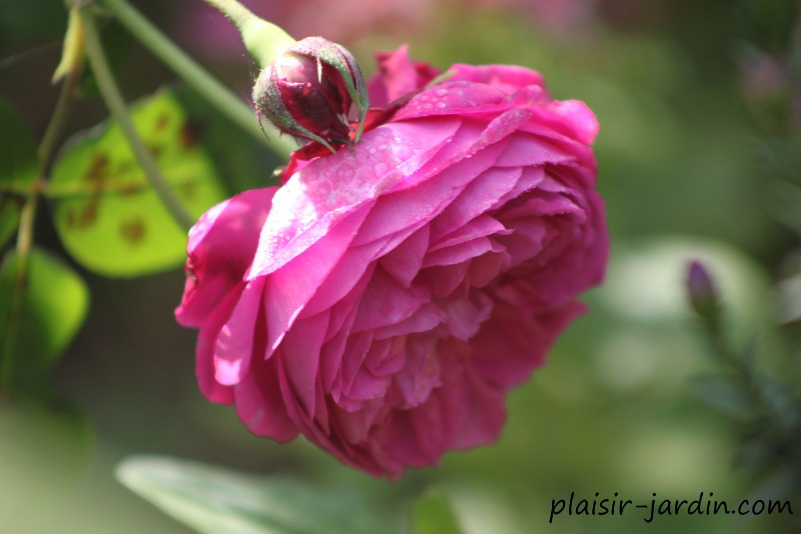 Le rosier 'Catherine Guillot'