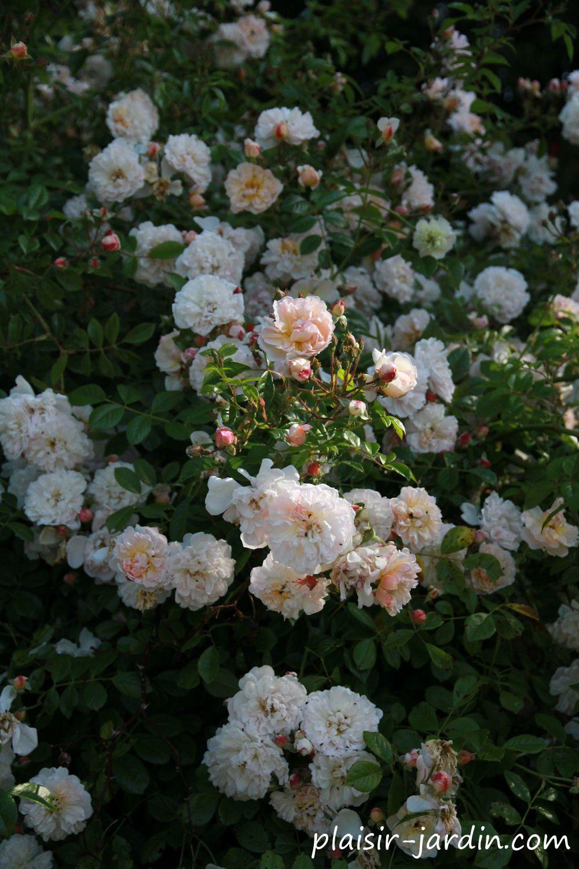 Le rosier 'Rosée de Lune' - plaisir-jardin.com