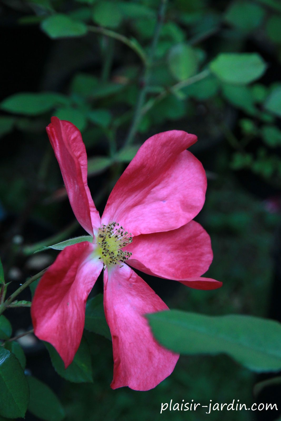 Le rosier 'Rose of Picardy'