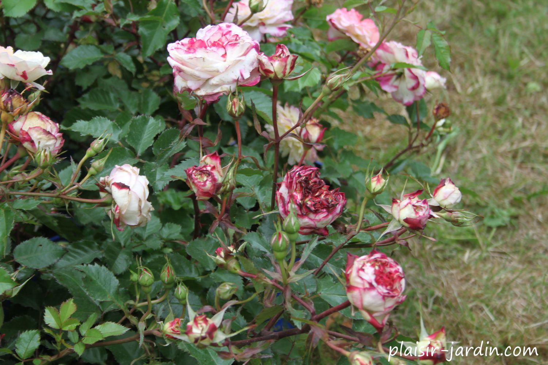 Le rosier Perle de Cristal des Accordéons Maugein