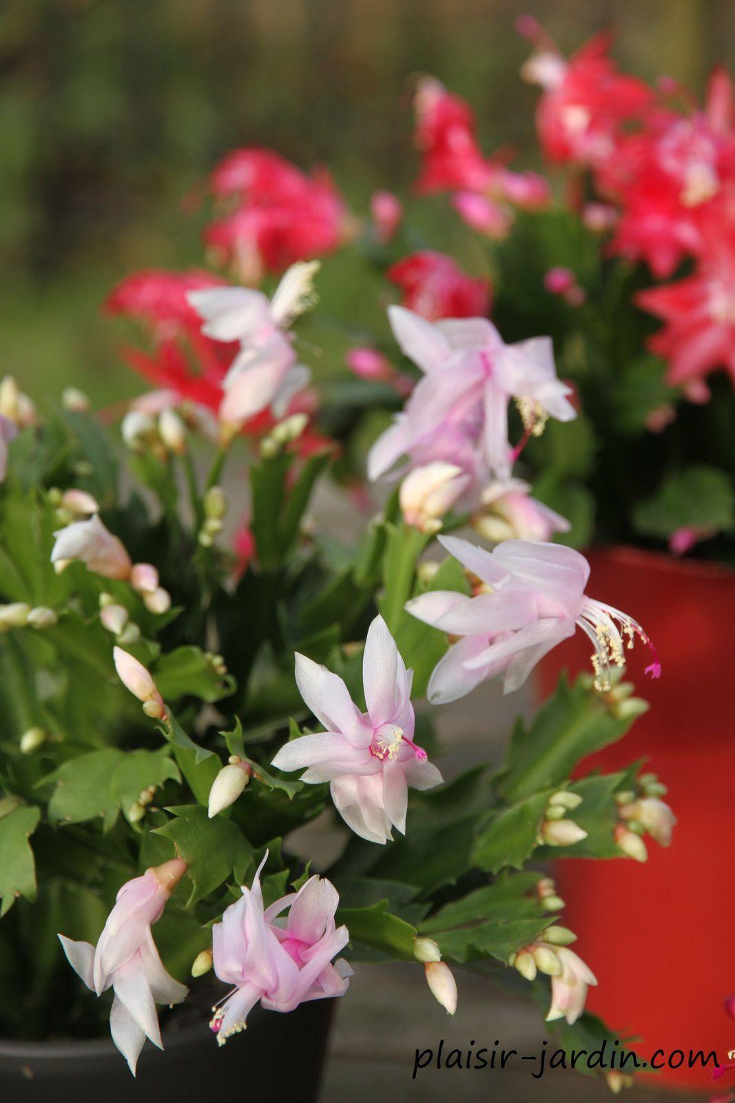 Cultivez le Schlumbergera ou Cactus de Noel (avec vidéo)