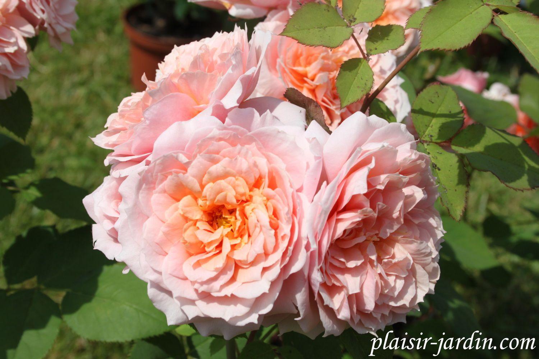 Le rosier Paul Bocuse