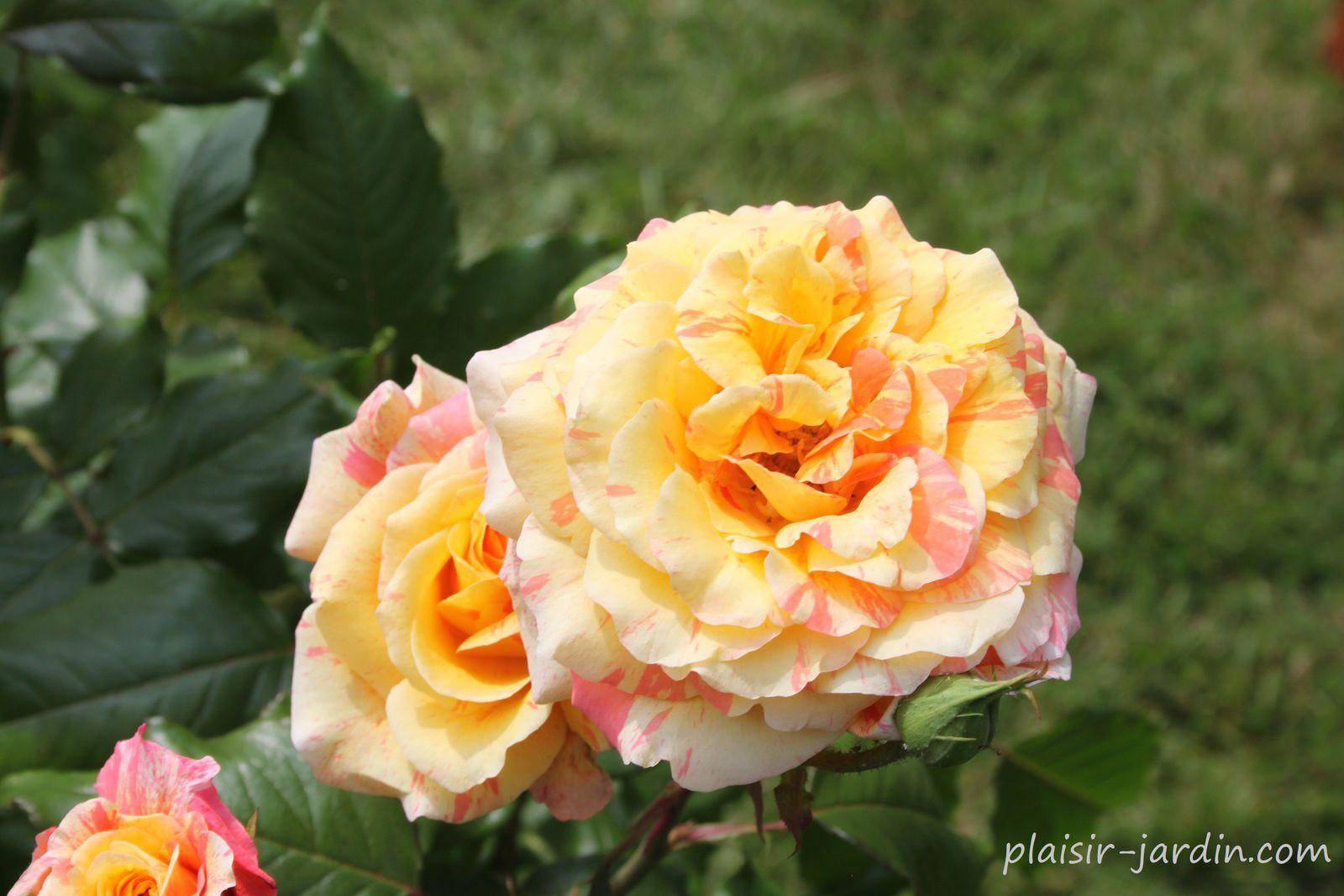 Le rosier 'Michèle Laroque'