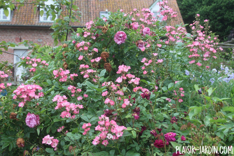 Le rosier 'Patrimonia'