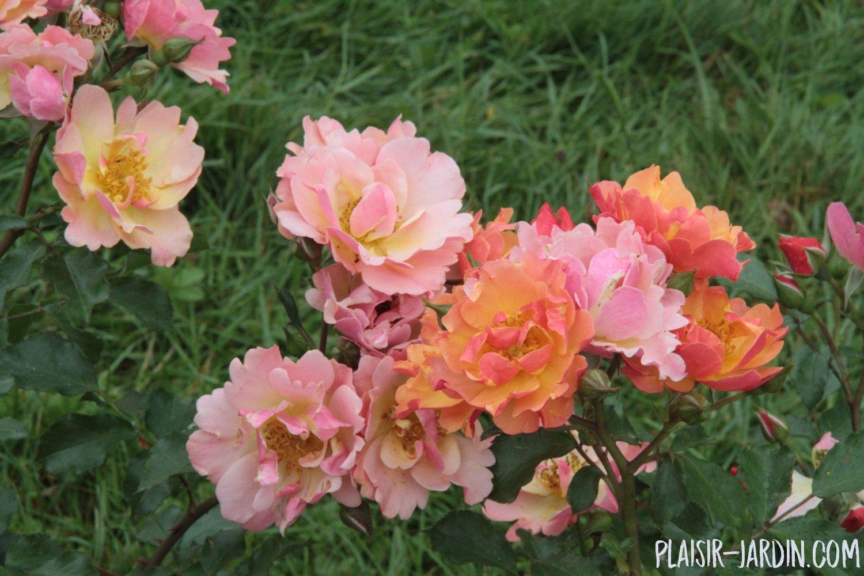 Le rosier 'Java'