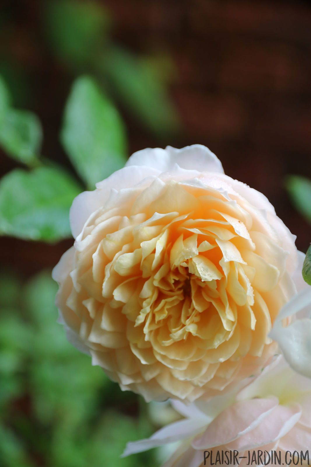 Le rosier 'Ginger Syllabub'